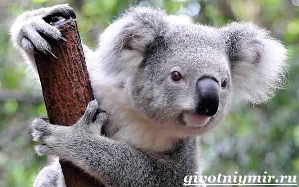 Коала-Описание-и-особенности-коалы-5