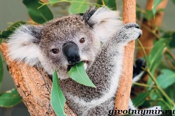 Коала-Описание-и-особенности-коалы-6