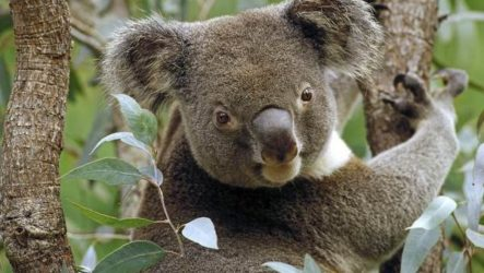 Коала. Описание и особенности коалы