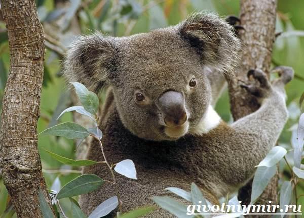 Коала-Описание-и-особенности-коалы-7