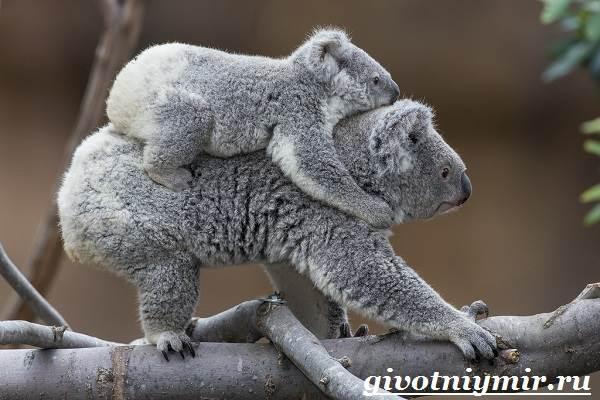 Коала-Описание-и-особенности-коалы-8
