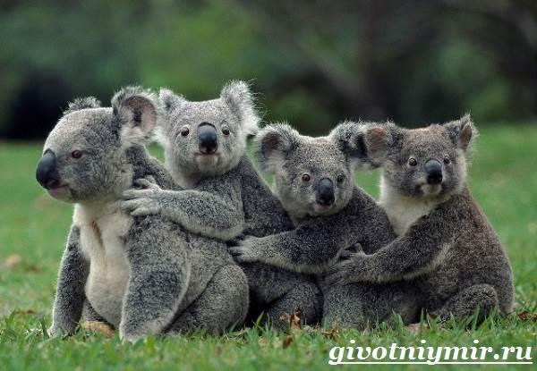 Коала-Описание-и-особенности-коалы-9