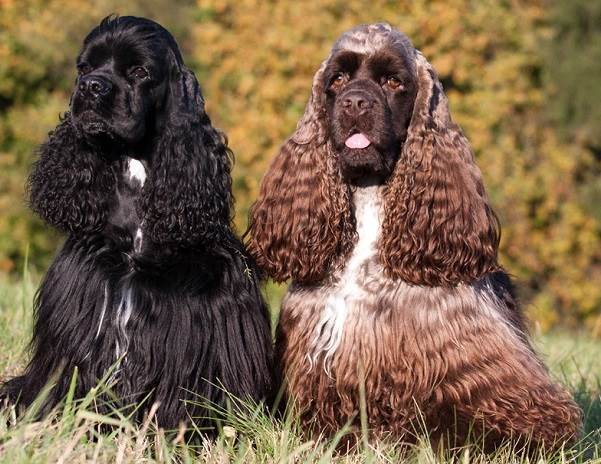 Кокер-спаниель-собака-Описание-особенности-содержание-цена-породы-кокер-спаниель-1
