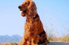 Кокер спаниель собака. Описание, особенности, содержание и цена породы кокер спаниель