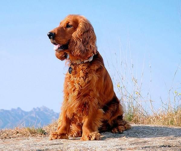кокер спаниель фото собаки все