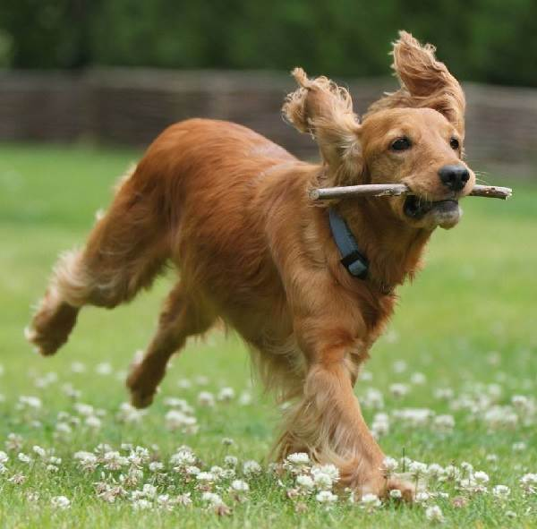 Кокер-спаниель-собака-Описание-особенности-содержание-цена-породы-кокер-спаниель-3