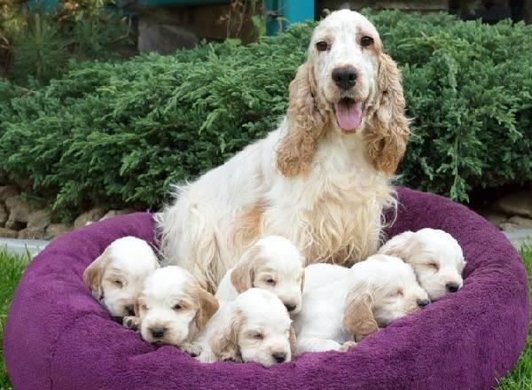 Кокер-спаниель-собака-Описание-особенности-содержание-цена-породы-кокер-спаниель-5