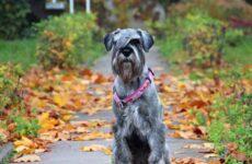 Миттельшнауцер собака. Описание, особенности, цена и уход за породой