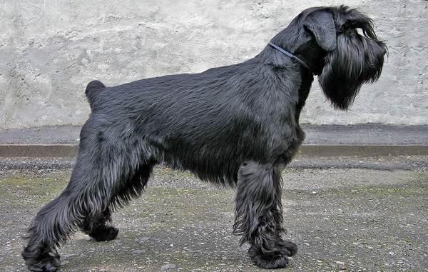 Миттельшнауцер-собака-Описание-особенности-цена-и-уход-за-породой-2