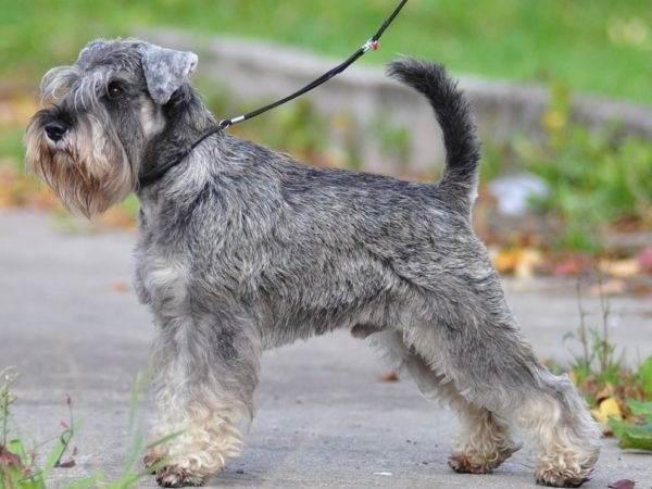 Миттельшнауцер-собака-Описание-особенности-цена-и-уход-за-породой-3