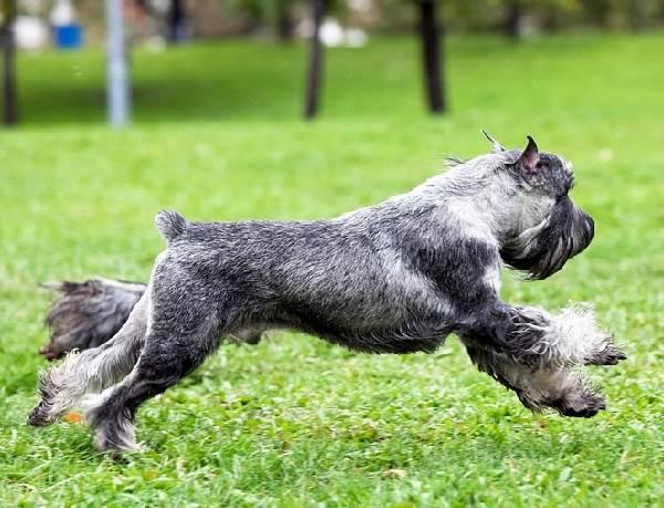 Миттельшнауцер-собака-Описание-особенности-цена-и-уход-за-породой-4