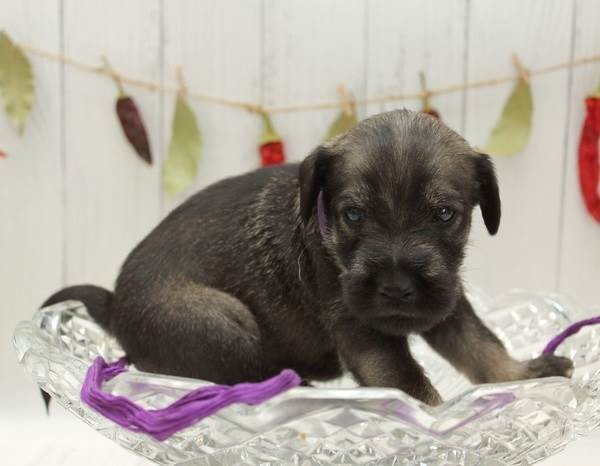Миттельшнауцер-собака-Описание-особенности-цена-и-уход-за-породой-6