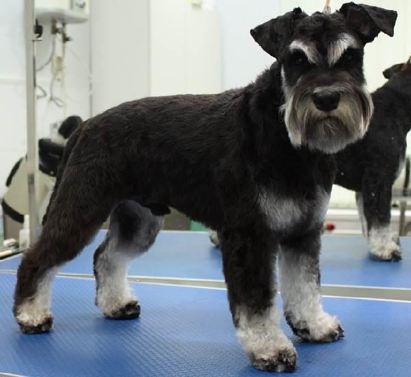 Миттельшнауцер-собака-Описание-особенности-цена-и-уход-за-породой-7