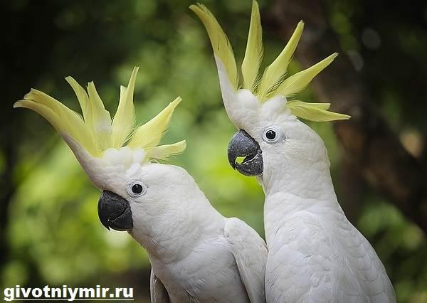 Попугай-какаду-Описание-особенности-и-среда-обитания-попугая-какаду-3
