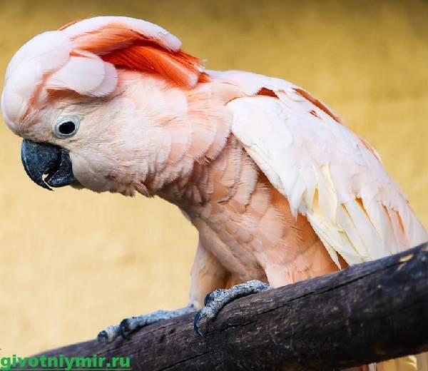 Попугай-какаду-Описание-особенности-и-среда-обитания-попугая-какаду-4