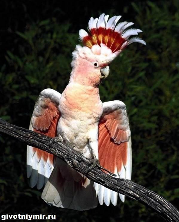Попугай-какаду-Описание-особенности-и-среда-обитания-попугая-какаду-5