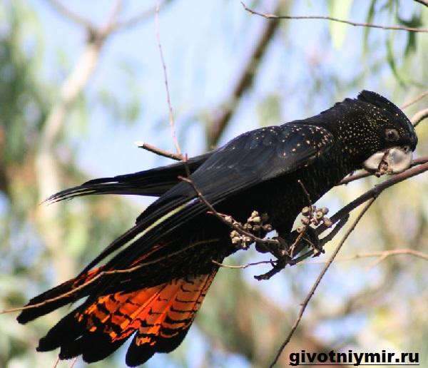 Попугай-какаду-Описание-особенности-и-среда-обитания-попугая-какаду-9