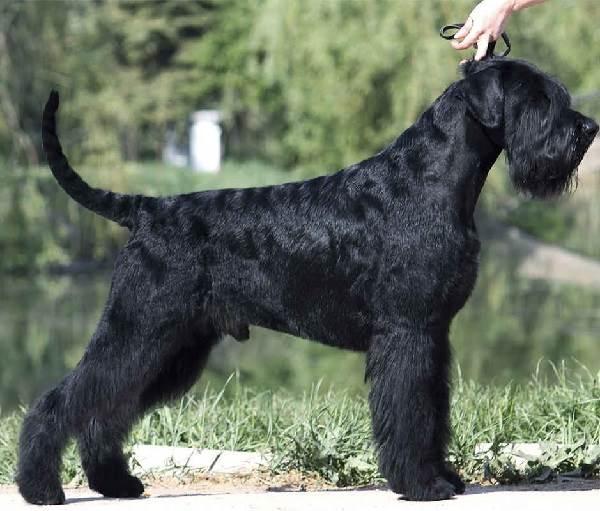 Ризеншнауцер-собака-Описание-особенности-цена-и-уход-за-ризеншнауцером-1