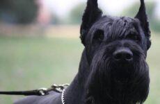 Ризеншнауцер собака. Описание, особенности, цена и уход за ризеншнауцером