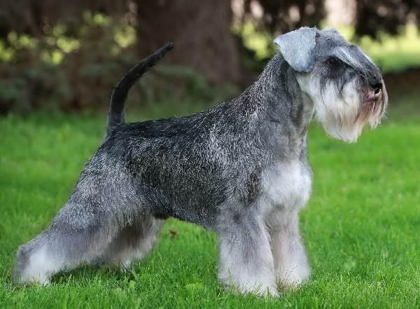 Ризеншнауцер-собака-Описание-особенности-цена-и-уход-за-ризеншнауцером-3