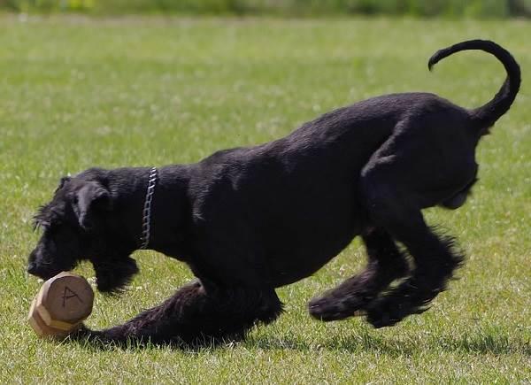 Ризеншнауцер-собака-Описание-особенности-цена-и-уход-за-ризеншнауцером-5