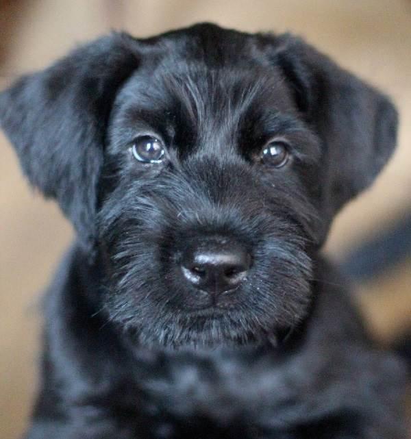 Ризеншнауцер-собака-Описание-особенности-цена-и-уход-за-ризеншнауцером-7