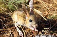 Тушканчик животное. Среда обитания и особенности тушканчиков