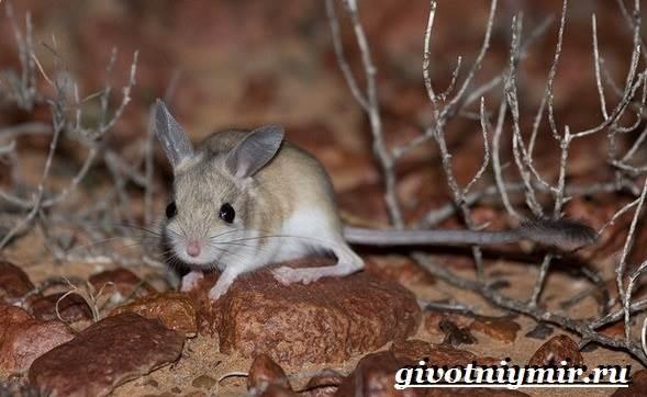 Тушканчик-Среда-обитания-и-особенности-тушканчиков-2