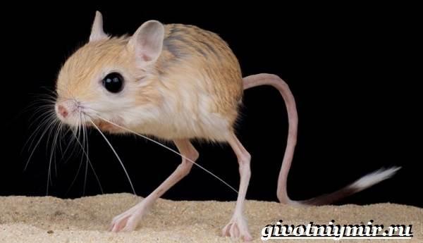 Тушканчик-Среда-обитания-и-особенности-тушканчиков-5