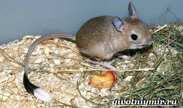 Тушканчик-Среда-обитания-и-особенности-тушканчиков-7