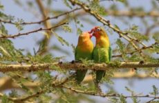 Попугаи неразлучники их особенности и уход