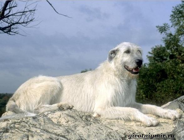 Волкодав-собака-Описание-особенности-и-уход-за-волкодавом-1