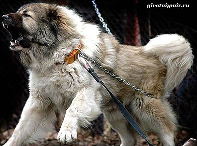 Волкодав-собака-Описание-особенности-и-уход-за-волкодавом-2