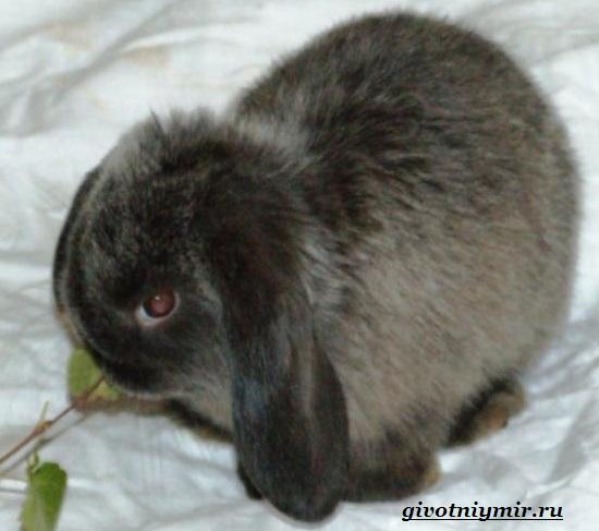 Декоративный-кролик-Особенности-содержания-декоративных-кроликов-в-домашних-условиях-4