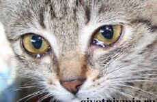 Что делать, если у кошки слезятся глаза? Что делать, если у кошки гноятся глаза?