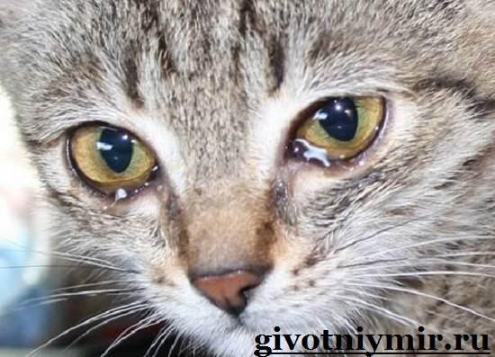 Что-делать-если-у-кошки-слезятся-глаза-Что-делать-если-у-кошки-гноятся-глаза-1