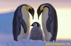 Императорский пингвин. Среда обитания императорского пингвина
