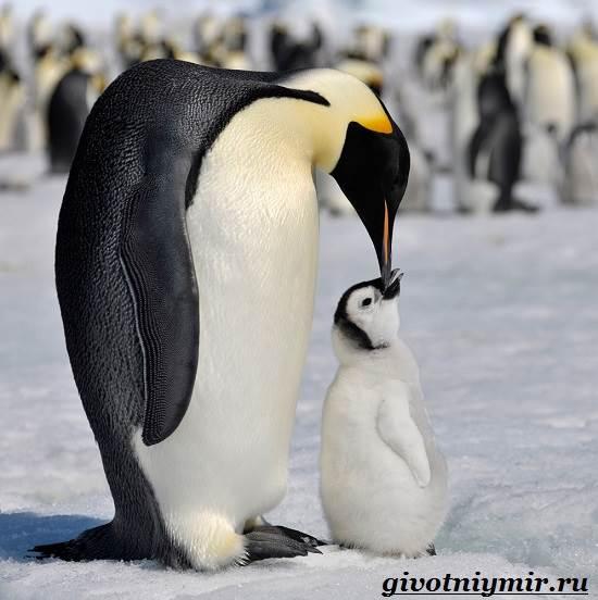 Императорский-пингвин-Среда-обитания-императорского-пингвина-10