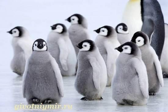 Императорский-пингвин-Среда-обитания-императорского-пингвина-2