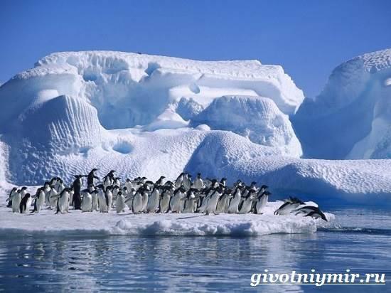 Императорский-пингвин-Среда-обитания-императорского-пингвина-4