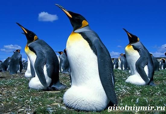 Императорский-пингвин-Среда-обитания-императорского-пингвина-6