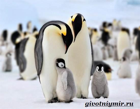 Императорский-пингвин-Среда-обитания-императорского-пингвина-8