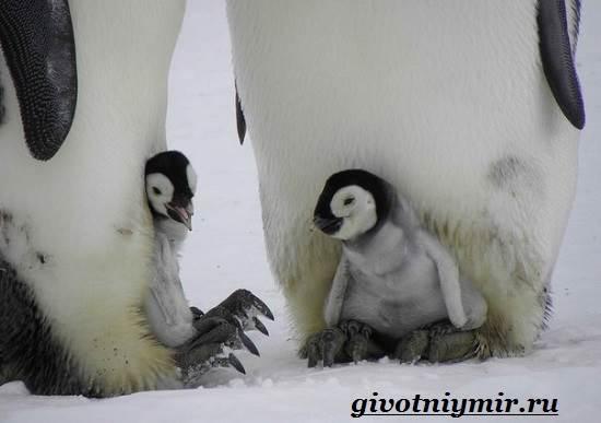 Императорский-пингвин-Среда-обитания-императорского-пингвина-9