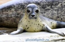 Морской котик. Среда обитания и особенности морских котиков