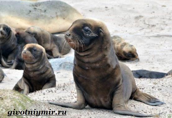 Морской-котик-Среда-обитания-и-особенности-морских-котиков-10
