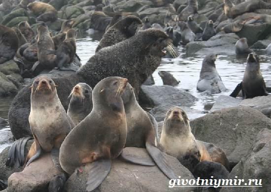 Морской-котик-Среда-обитания-и-особенности-морских-котиков-2