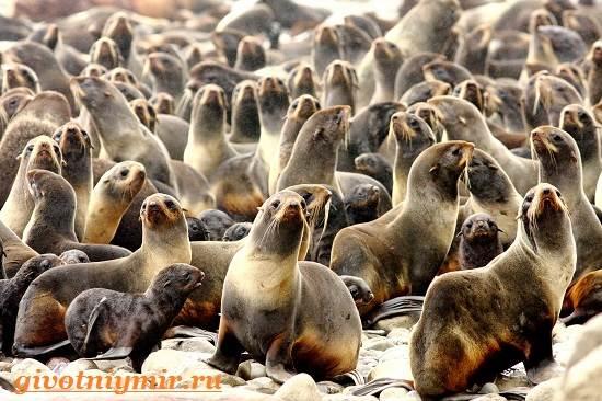 Морской-котик-Среда-обитания-и-особенности-морских-котиков-3