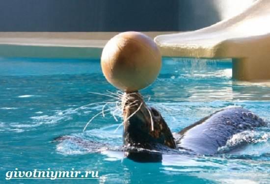 Морской-котик-Среда-обитания-и-особенности-морских-котиков-4