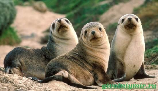 Морской-котик-Среда-обитания-и-особенности-морских-котиков-6