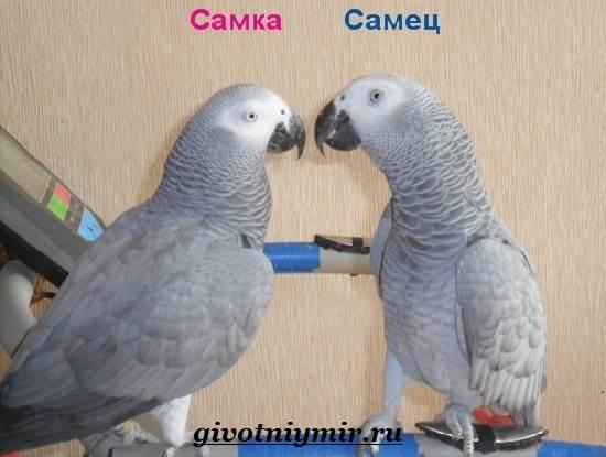 Попугай-Жако-Цена-Жако-Как-ухаживать-за-попугаем-Жако-11